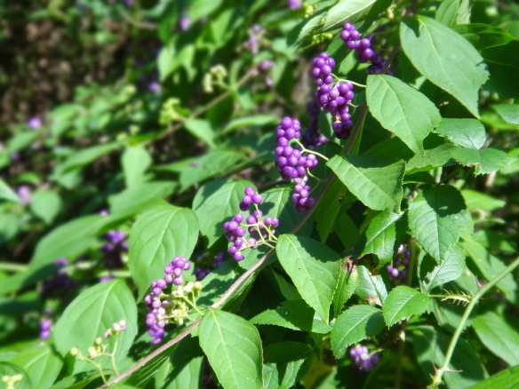 Purple Vine